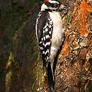 Downy WoodPecker by BigD