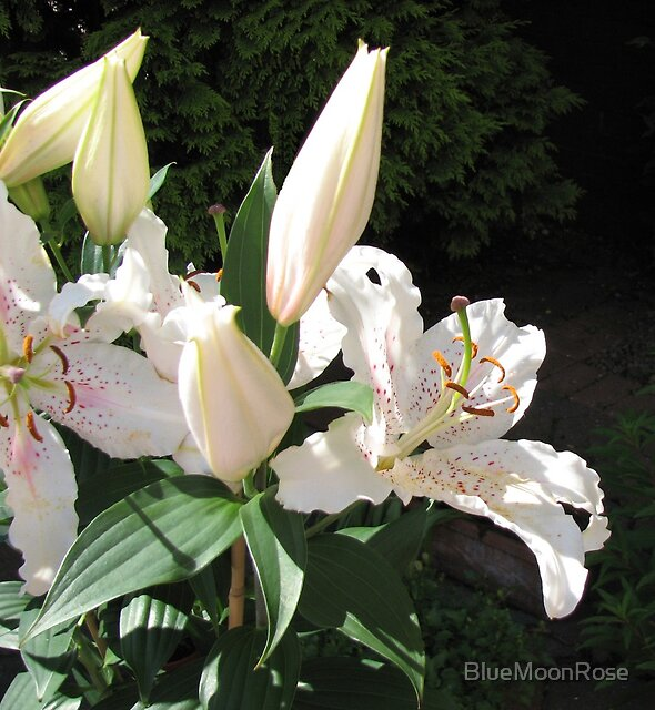 Heavenly Perfume - Fragrant Oriental Lily by BlueMoonRose