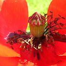Poppy detail by Ana Belaj