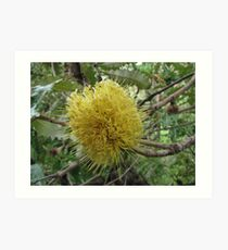 Banksia blooming Art Print