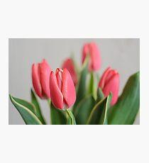 Fresh Pink Tulip Flowers Photographic Print