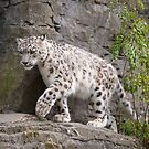 Snow leopard (Panthera uncia) by Stephen Liptrot