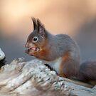 Eurasian red squirrel (Sciurus vulgaris) by Stephen Liptrot