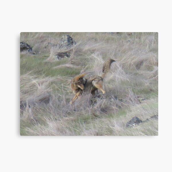 Coyote hunting mice Metal Print