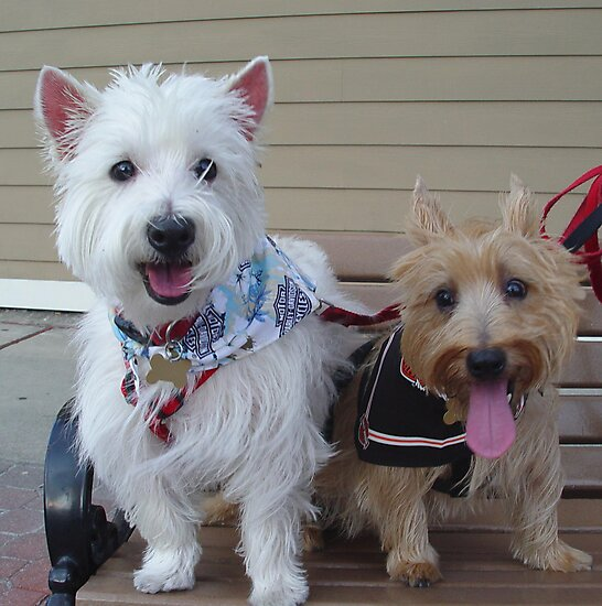 Westie and Cairn by May Lattanzio