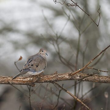 Mourning Dove by nscphotography