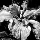 The Hibiscus by John  Kapusta
