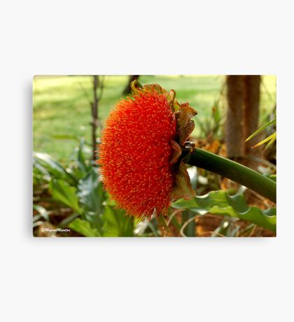 SCADOXUS puniceus – Blood Lily – Rooikwas Canvas Print