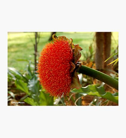 SCADOXUS puniceus – Blood Lily – Rooikwas Photographic Print