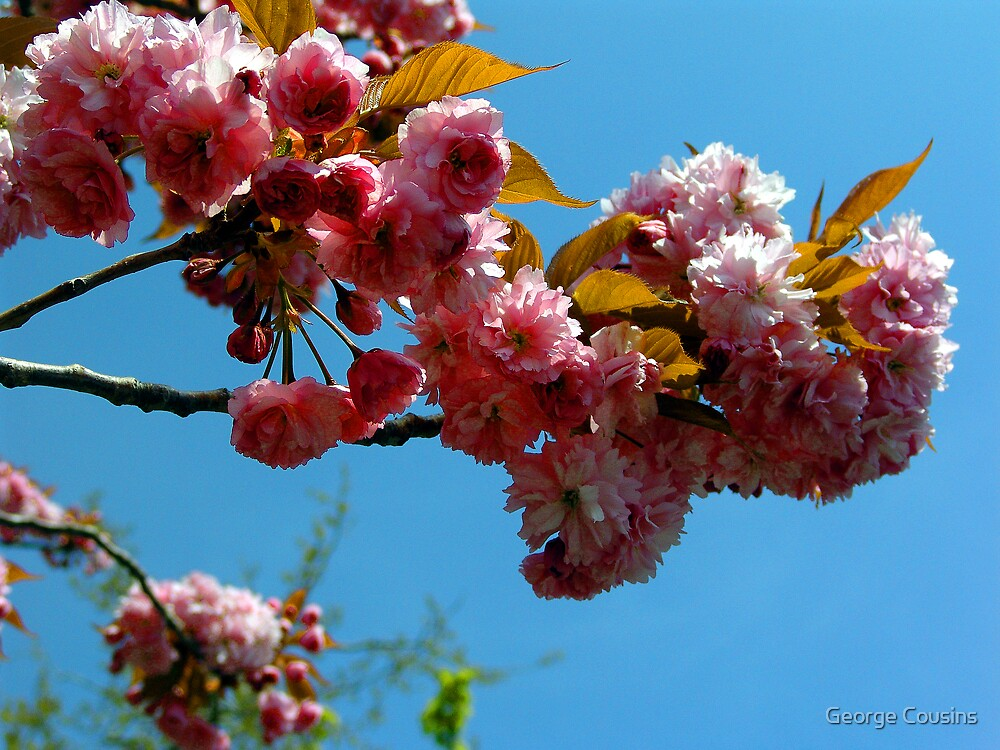 Ornamental Cherry Blossoms by George Cousins