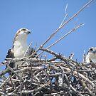 Ospreys by brendalynn52