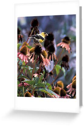Gold Finch on My Echinacea  by Bill Spengler