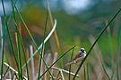 Sparrow (Passer domesticus)  by Eyal Nahmias