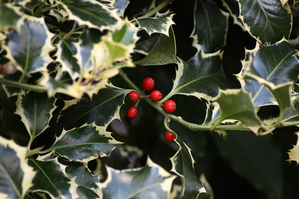 Xmas Holly by Ian Collett