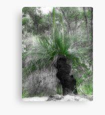 Xanthorrhoea/Grass Tree Canvas Print
