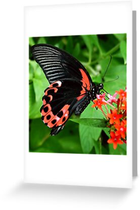 Scarlet Swallow Tail by Macky