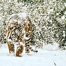 Tiger in the snow by Sheila Smith