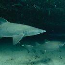 Grey Nurse Shark by Andrew Trevor-Jones
