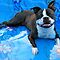 YOUR APBT OR BULLIE BREED DOG WITH WATER