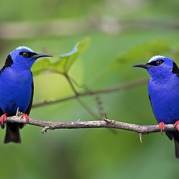 Red-legged Honeycreepers - Costa Rica by darby8