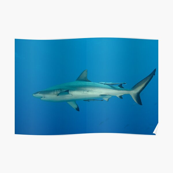 Grey Reef Whaler Poster