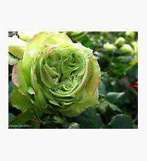 Irish Rose Photographic Print