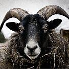 Sheepish hayeater by Olav Lunde