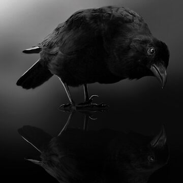 Reflecting Crow by Cliff