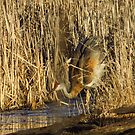 Sandhill Crane Mating Dance Head Bob by Deb Fedeler