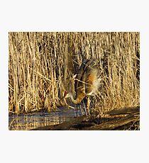 Sandhill Crane Mating Dance Head Bob Photographic Print