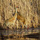 Sandhill Crane Pair by Deb Fedeler