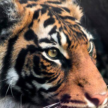 Sumatran Tigress - Close up by Sandra