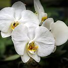 Moth orchids by PhotosByHealy