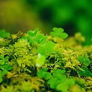 Lucky Shamrocks Growing In Sligo Woods by ddohertyphoto