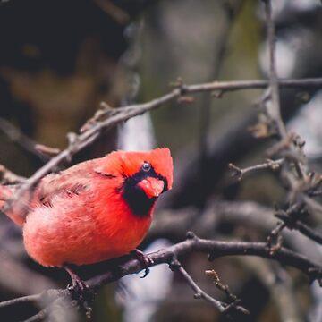 Curious Cardinal by LittleRedLens