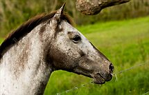 Stallion by iltby