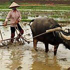 Preparing the fields for the rice crop - North Vietnam by Bev Pascoe