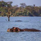 Kenya. Lake Naivasha National Park. Hippo. by vadim19