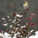 Yellow Finch by Sharon Morris