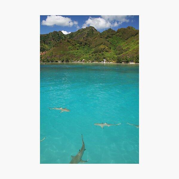 Multiple Black Tip Reef Sharks, Moorea Photographic Print