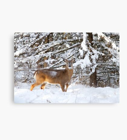 Young White-tailed Buck in snow Canvas Print