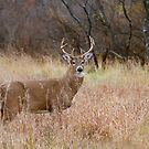 Which way did she go? - White-tailed Buck by Jim Cumming