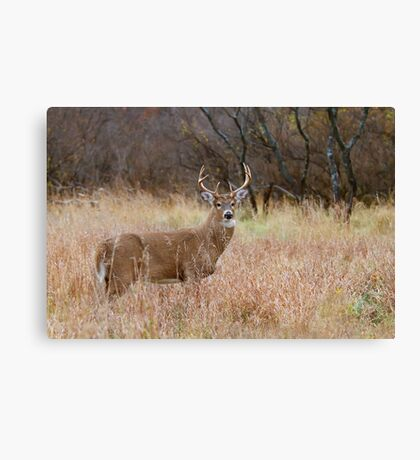 Which way did she go? - White-tailed Buck Canvas Print