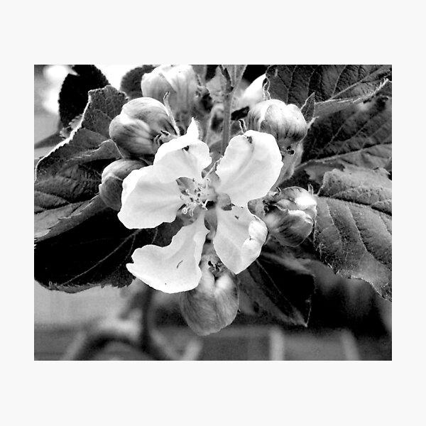 apple blossom Photographic Print
