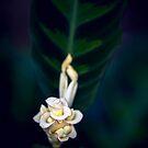 Calathea Warscewiczii.  Stretching.  by alan shapiro