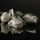 white roses by danapace
