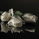 white roses by dagmar luhring