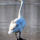 Mute Swan by Bill Miller