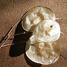 Lunaria Seeds by pat oubridge