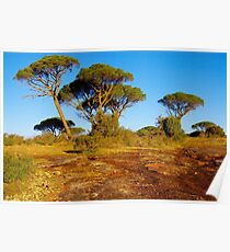 Parasol pines in Provence Poster